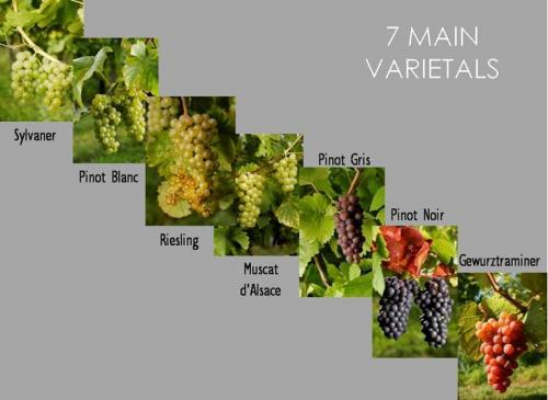 Alsace grape varieties