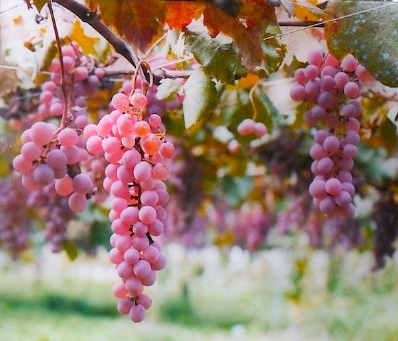 Koshu Wine Grapes