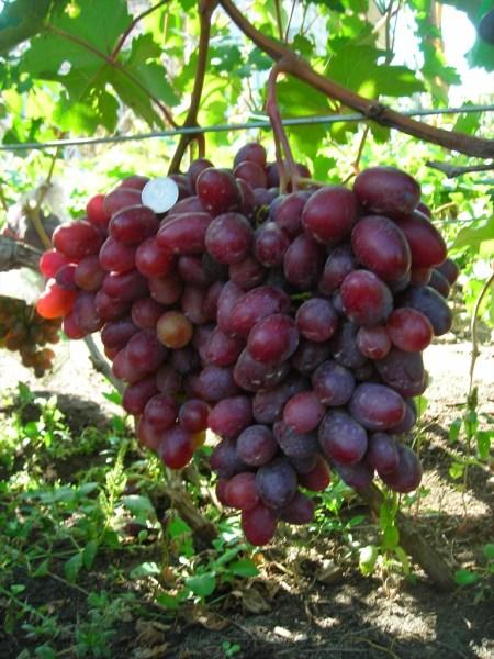 Граф Монте-Кристо грозди