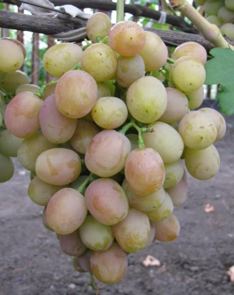 Хамелеон на винограднике у Вешневецкого.jpg