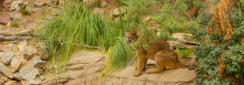 A mountain lion relaxes on a rock at the Arizona Sonoran Desert Museum in Tucson