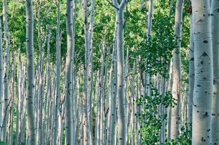 aspen-trees2