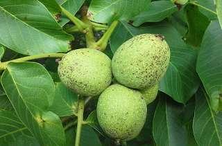 Eau de vie aux noix vertes épicée