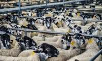 Le mouton et l'agneau - Races, labels et qualité
