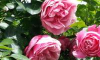 Pétales de rose cristallisés
