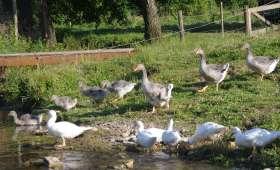 Les volailles