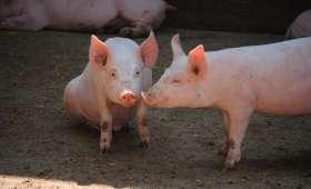 Le porc - Races, labels et qualité