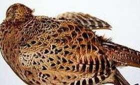 Plumer une poule faisane à sec