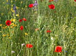 Fleurs des champs au printemps.