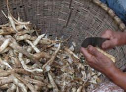 Rhizomes d'arrow-root