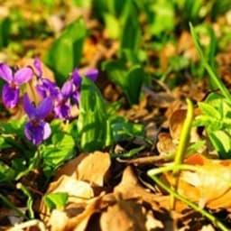 Sirop de violettes maison