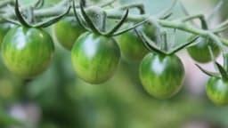 Sauce aux tomates vertes