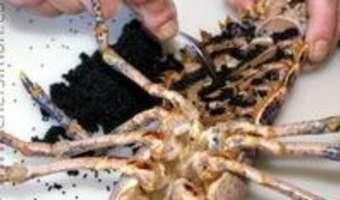 Oeufs de homard - Etape 3