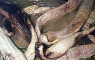 Anguilles au vert - Etape 2