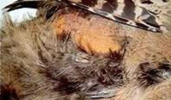 Plumer une poule faisane à sec - Etape 1