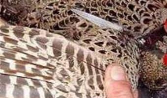 Plumer une poule faisane à sec - Etape 2