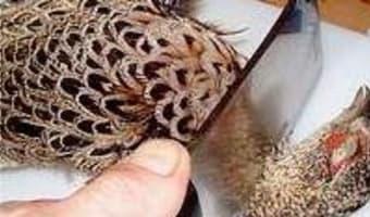 Plumer une poule faisane à sec - Etape 3