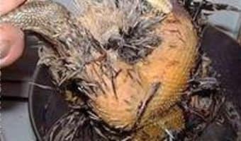 Plumer une poule faisane par immersion - Etape 7
