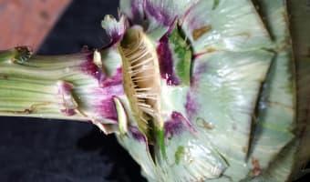 Artichaut à la vinaigrette - Etape 2