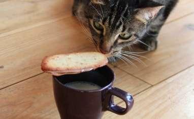 Langues de chat siamois chocolat, noisette