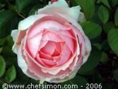 Pétales de rose cristallisés - Etape 1