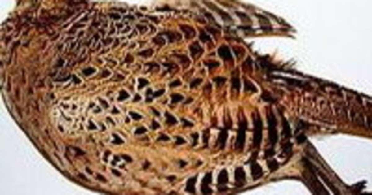 Plumer une poule faisane par immersion technique - Cuisiner une poule faisane ...