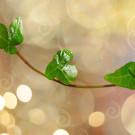 Wie kann Efeu vermehrt werden?