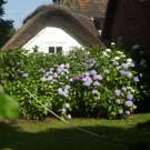 Der passende Standort für die Hortensien im Garten