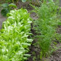 Vom Bauerngarten bis zum Hochbeet: Einen Gemüsegarten nach individuellen Wünschen anlegen