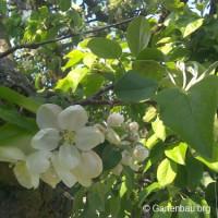 Der Sommerschnitt verbessert Wuchs und Ertrag von Obstbäumen!