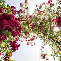 Die richtige Bepflanzung des Rosenbogens