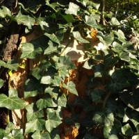 Die Efeupflanze als Sichtschutz