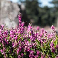 Wie wird ein Heidegarten angelegt?