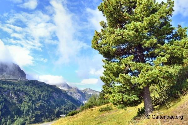 Terrassendielen aus Kiefernholz – Sinnvolle Alternative zu Tropenholz?