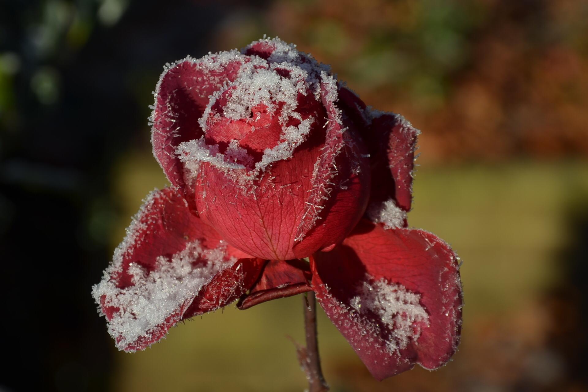 Rosen schneiden: Wann ist der richtige Zeitpunkt?