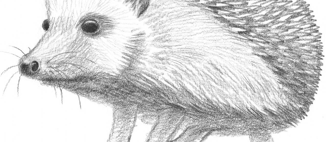 how to draw a cute hedgehog easy