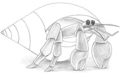 Hermit Crab Shell Drawing Draw Hermit Crab Fig11