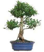 Golden Gate Ficus Bonsai Tree