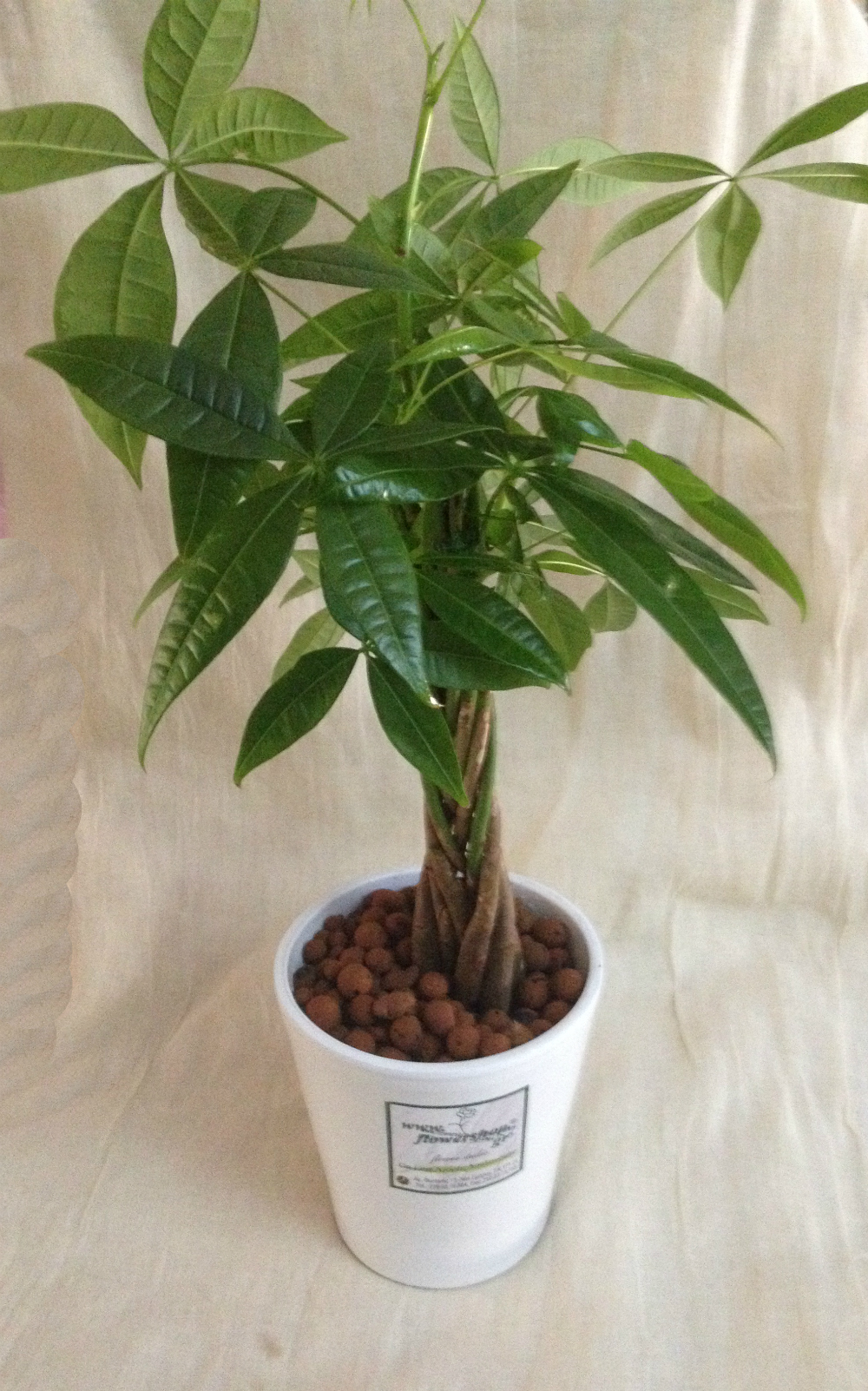 Plant Pahira  Pot 1 piece