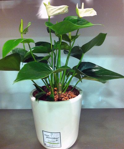 Plant anthurium in pot  Hydroponic