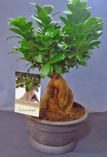 Plant ficus ginseng