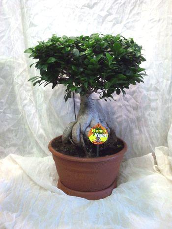 Plant ficus ginseng mondo