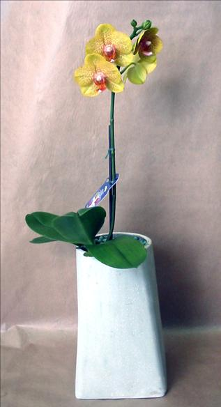 Plant phalaenopsis orchid in ceramic pot