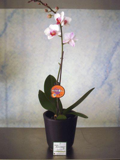 Plant phalaenopsis orchid