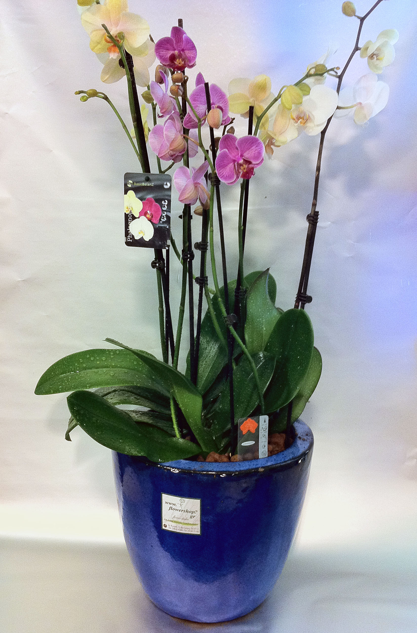 Phalaenopsis orchid plants in quality design vasepot  3 two spiked plants