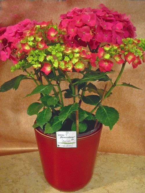 Hydrangea plant in fine ceramic pot pink