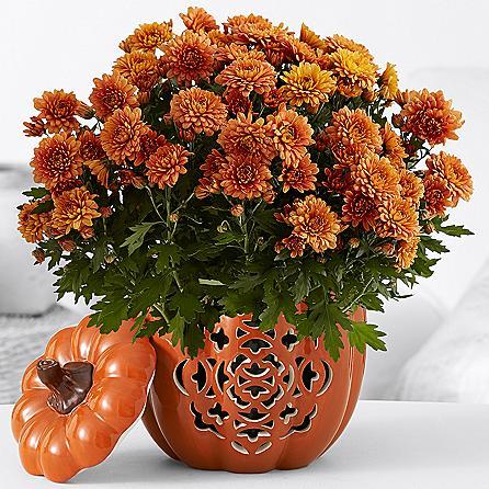 Pumpkin Harvest Mums