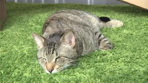 Kuvassa yksi sosiaalisen median kuuluisimmista kissoista, Oskar the Blind Cat USA:n Seattlesta