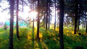 Aamu sarastaa metsäreunassa