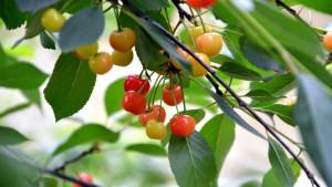 Körsbärsträd vid Aura å.